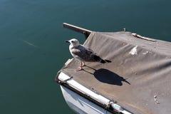 Zeemeeuw die zich op de rand van behandelde boot bevinden stock afbeeldingen