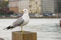 Zeemeeuw die zich op een houten post in Helsinki bevinden Stock Afbeeldingen