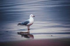 Zeemeeuw die zich op het strand bevinden Stock Afbeeldingen