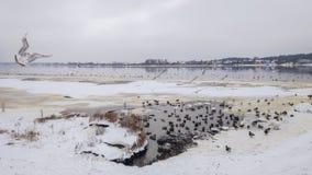 Zeemeeuw in een de winterrivier Daugava in Riga, Letland, Oost-Europa stock afbeelding