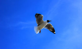 Zeemeeuw en blauwe hemel Royalty-vrije Stock Fotografie