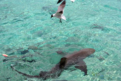 Zeemeeuw en Haai Stock Afbeeldingen