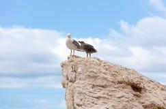 Zeemeeuw en kuiken op een rots stock afbeelding