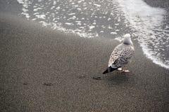 Zeemeeuw en zijn sporen op het zand Stock Foto