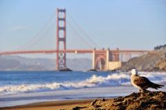 Zeemeeuw in Golden gate bridge San Francisco de V.S. Royalty-vrije Stock Afbeelding