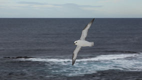 Zeemeeuw Grimsey ijsland Royalty-vrije Stock Foto's