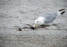 Zeemeeuw het eten stock fotografie