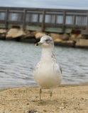 Zeemeeuw het hangen uit bij strand Royalty-vrije Stock Fotografie