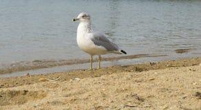 Zeemeeuw het hangen uit bij strand Stock Afbeeldingen