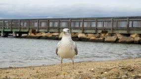 Zeemeeuw het hangen uit bij strand Stock Fotografie