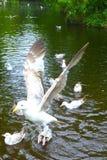 Zeemeeuw in het park Stock Foto's