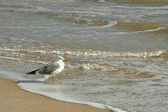 Zeemeeuw in het strand stock fotografie