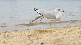 Zeemeeuw het uitrekken zich vleugel en been bij strand Stock Foto's