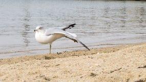 Zeemeeuw het uitrekken zich vleugel en been bij strand Royalty-vrije Stock Afbeeldingen