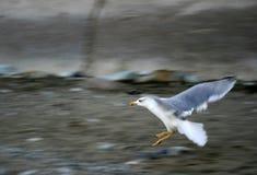 Zeemeeuw in het vliegen Royalty-vrije Stock Foto