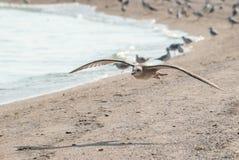 Zeemeeuw het vliegen Stock Foto's