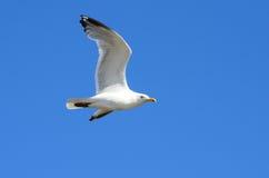 Zeemeeuw het Vliegen Stock Afbeeldingen