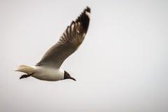 Zeemeeuw het vliegen stock foto