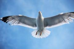 Zeemeeuw het vliegen Royalty-vrije Stock Afbeeldingen
