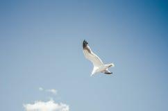 Zeemeeuw het vliegen Royalty-vrije Stock Afbeelding