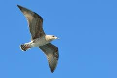 Zeemeeuw het vliegen Royalty-vrije Stock Foto's