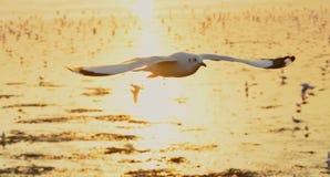 Zeemeeuw het vliegen en zonsondergang Stock Foto's