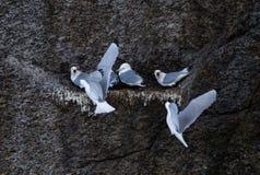 Zeemeeuw het voeden in het nest stock foto
