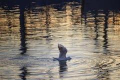 Zeemeeuw in het water stock afbeelding