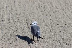 Zeemeeuw in het zand stock foto's