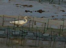 Zeemeeuw in Mangrovebossen in Shenzhen stock foto