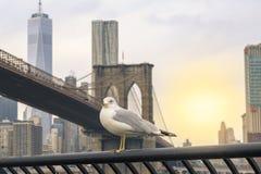 Zeemeeuw met de brug van Brooklyn en de lagere achtergrond van Manhattan in New York, NY royalty-vrije stock afbeelding