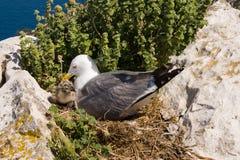 Zeemeeuw met een nestvogel Stock Afbeelding