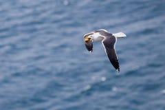 Zeemeeuw met eivliegen boven het overzees Royalty-vrije Stock Afbeeldingen