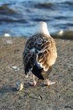 Zeemeeuw met Gewonde Vleugel Royalty-vrije Stock Foto