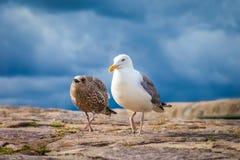 Zeemeeuw met jonge vogel stock foto