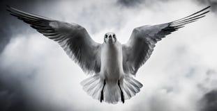 Zeemeeuw met uitgespreide vleugels die direct boven vliegen Royalty-vrije Stock Foto
