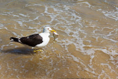 Zeemeeuw met vissen in de bek, die op het strand in water, overzees eten Stock Afbeelding