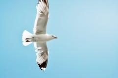 Zeemeeuw met vleugels brede open Royalty-vrije Stock Fotografie