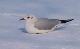Zeemeeuw met zwarte kop op sneeuw royalty-vrije stock foto's