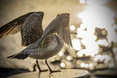 Zeemeeuw ongeveer om in sterke achter-licht in het gouden uur op te stijgen royalty-vrije stock foto