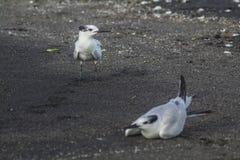 Zeemeeuw op alarm bij Ometepe-Eiland Royalty-vrije Stock Foto