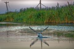 Zeemeeuw op de delta van Donau stock afbeeldingen