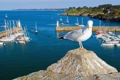 Zeemeeuw op de kust van het Eiland Belle Ile Engelse Mer frankrijk Stock Fotografie