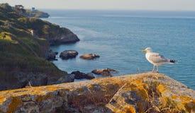 Zeemeeuw op de kust van het Eiland Belle Ile Engelse Mer frankrijk stock foto's