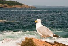 Zeemeeuw op de kust van Maine stock foto