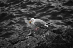 Zeemeeuw op de rotsen op zee Stock Afbeeldingen
