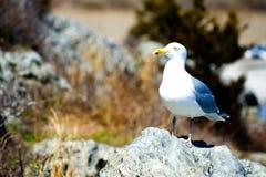 Zeemeeuw op een rots Stock Fotografie