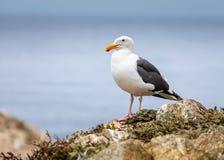 Zeemeeuw op een Rots bij het Strand royalty-vrije stock foto