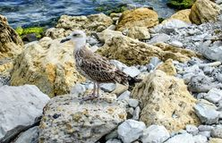 Zeemeeuw op een steen dichtbij de overzeese kust Stock Fotografie