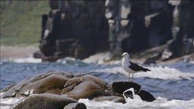 Zeemeeuw op een steen in het overzees stock video